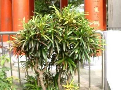 木本植物盆景_木本植物圖片及名稱,室內木本植物圖片圖片